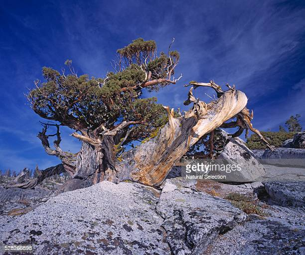 western juniper tree - western juniper tree stock pictures, royalty-free photos & images