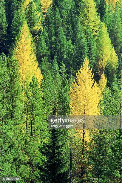Western Larches