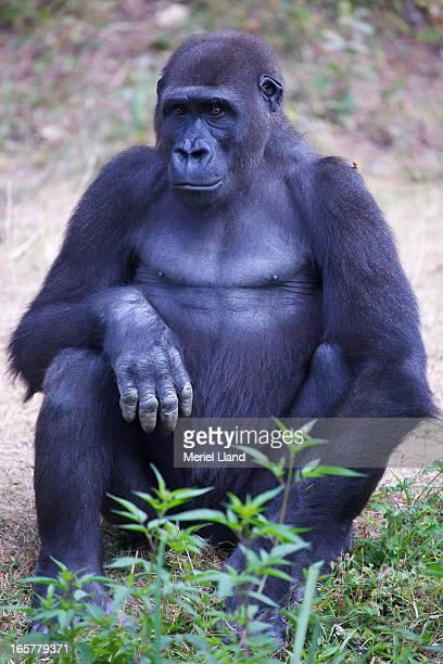 Western Lowland Gorilla adult