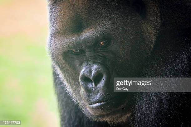 Western Lowland Gorilla Alpha Male Close Up