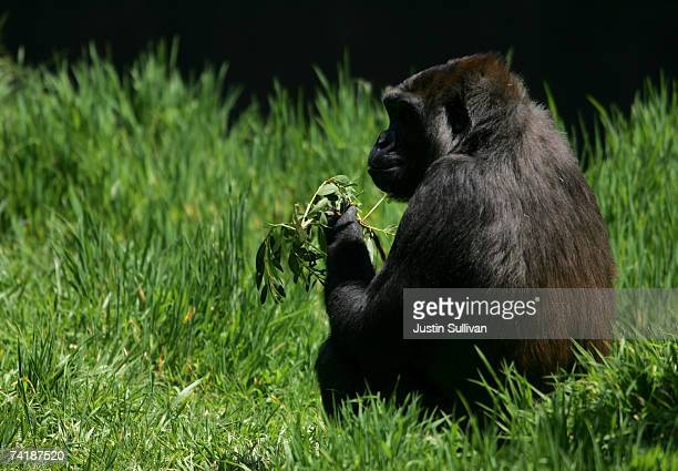 Western Lowland Gorilla an endangered animal species eats a tree branch in an exhibit at the San Francisco Zoo May 18 2007 in San Francisco...