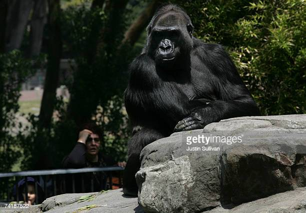 Western Lowland Gorilla an endangered animal species sits in an exhibit at the San Francisco Zoo May 18 2007 in San Francisco California The US...