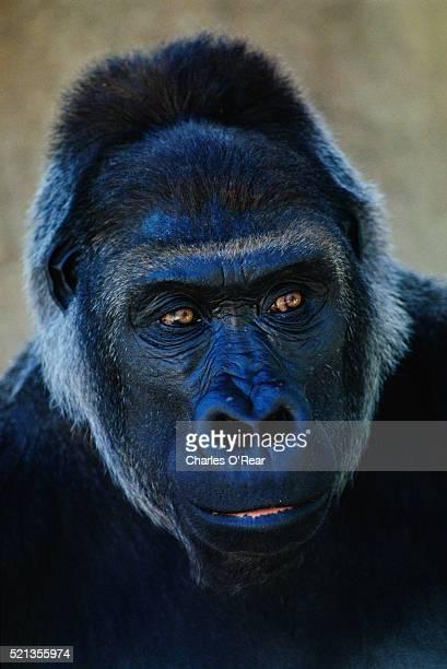 Western Lowland Gorilla at Wild Animal Park