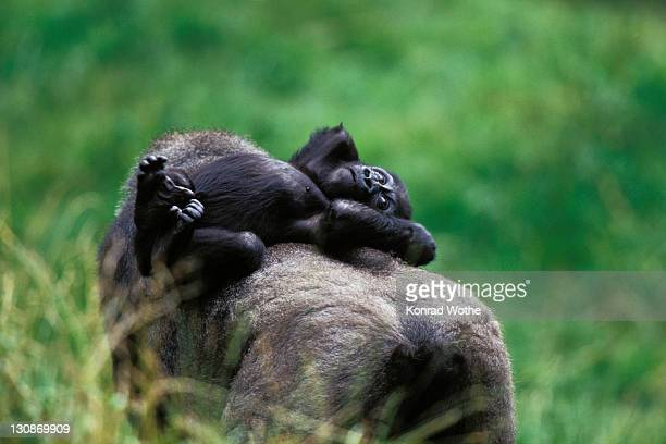 western lowland gorilla (gorilla gorilla gorilla), baby riding on mother's back, africa - big arse stock pictures, royalty-free photos & images