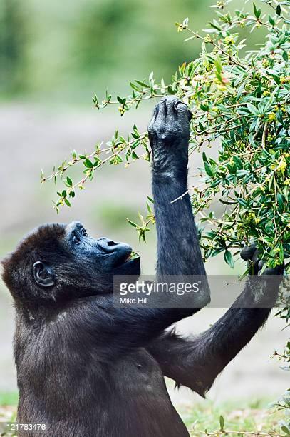 Western Lowland Gorilla (Gorilla gorilla gorilla), Captive in Apenheul zoo, Apeldoorn, Netherlands