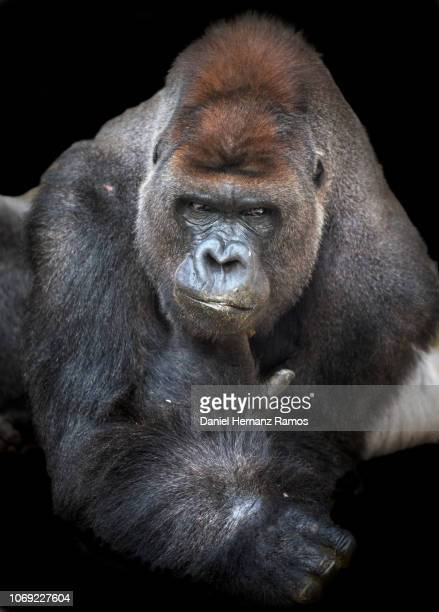 western lowland gorilla close up front view with black background - gorilla hand stock photos and pictures