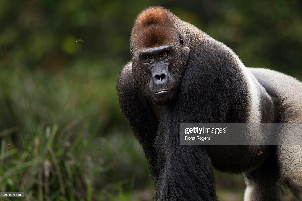 Western lowland gorilla dominant male silverback 'Makumba' aged 32 years standing portrait : Foto de stock