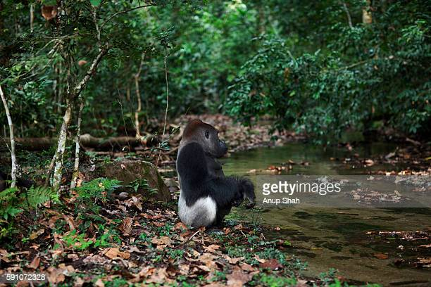 Western lowland gorilla dominant male silverback 'Makumba' aged 32 years sitting next to a river