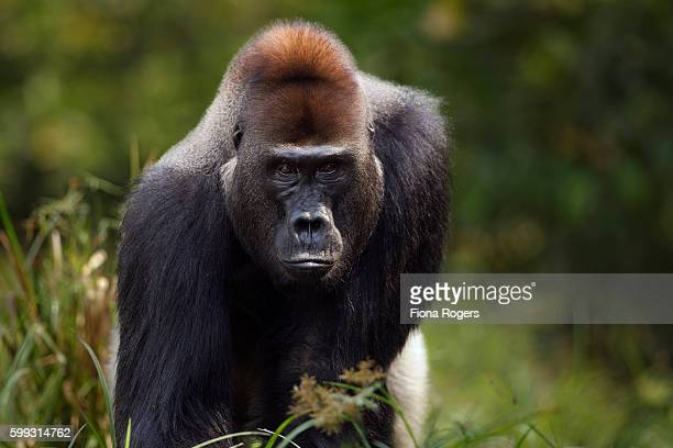 Western lowland gorilla dominant male silverback 'Makumba' aged 32 years head and shoulders portrait