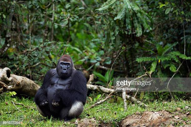 Western lowland gorilla dominant male silverback 'Makumba' sitting at the edge of the forest