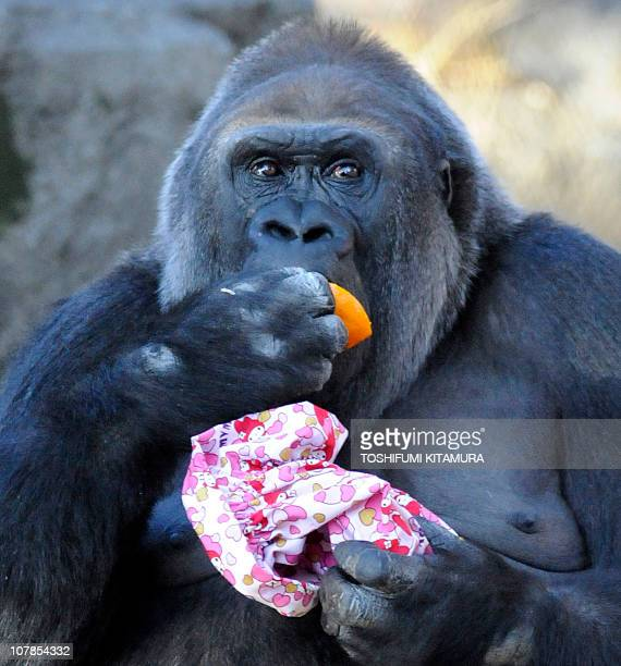 A Western Lowland Gorilla eats an orange while holding a Christmas pouch at the Ueno Zoo in Tokyo on December 25 2010 The Gorillas received Christmas...