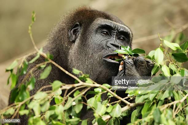 Western lowland Gorilla eats Christmas treats at Taronga Zoo on December 21 2011 in Sydney Australia Animals received Christmas themed enrichment...