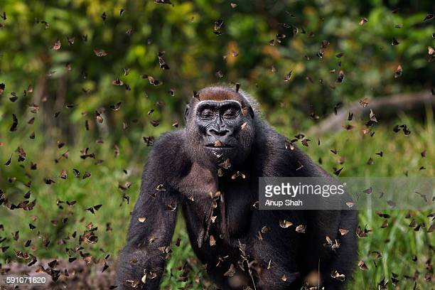Western lowland gorilla female 'Malui' walking through a cloud of butterflies she has disturbed