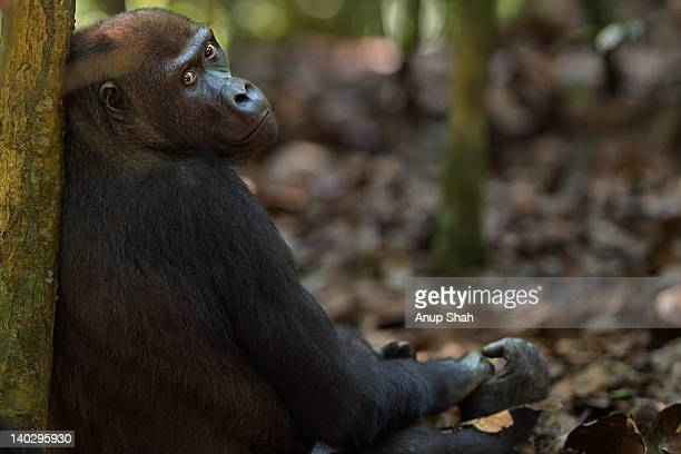 Western lowland gorilla female portrait
