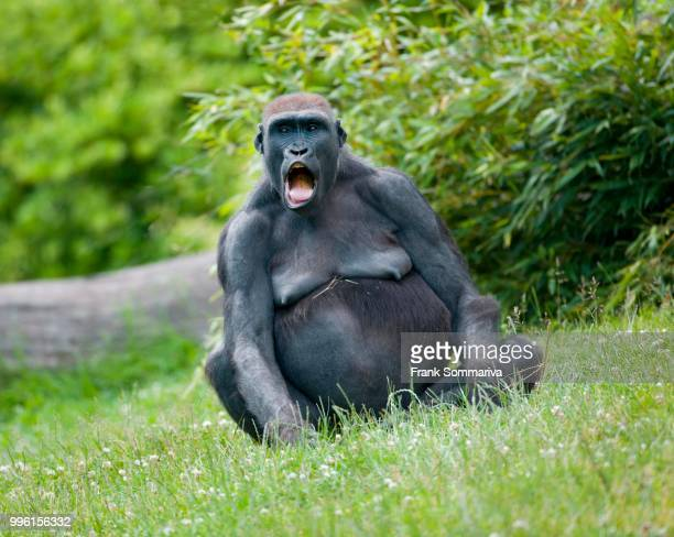 western lowland gorilla (gorilla gorilla gorilla), female screaming, captive, saxony, germany - call of the wild stock pictures, royalty-free photos & images