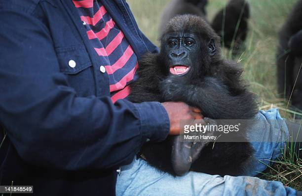 western lowland gorilla gorilla gorilla gorilla keeper/handler catherine missilou with orphaned gorillas reintroduced into the wild. endangered species. projet protection des gorilles, gabon/congo west-central africa: nigeria to drc â© m. harvey af_gor - kathy west stock pictures, royalty-free photos & images