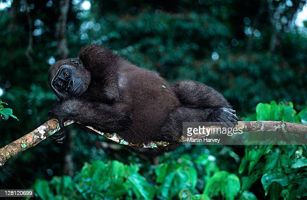 western lowland gorilla, gorilla gorilla gorilla, laying on tree branch. orphaned gorillas reintroduced into the wild. endangered species. projet protection des gorilles, gabon/congo west-central africa: nigeria to drc - gabon stock pictures, royalty-free photos & images