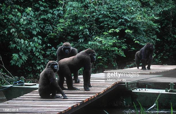 western lowland gorilla gorilla gorilla gorilla on boardwalk to station - orphaned gorillas reintroduced into the wild. endangered species. projet protection des gorilles, gabon/congo west-central africa: nigeria to drc â© m. harvey af_gor_w_139 - gabon stock pictures, royalty-free photos & images