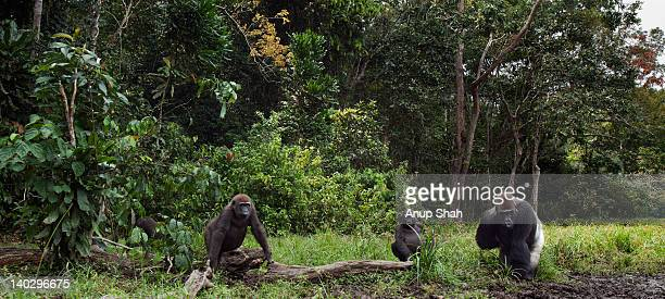 Western lowland gorilla group in a bai