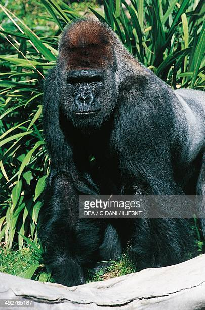 western lowland gorilla hominidae news photo getty images