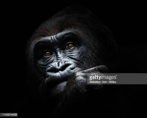 western lowland gorilla iii - gorilla stock pictures, royalty-free photos & images