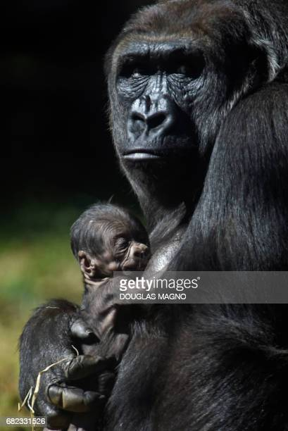 Western lowland gorilla Imbi holds her newborn gorilla at the zoo in Belo Horizonte Brazil on May 12 2017 The baby gorilla still without defined sex...