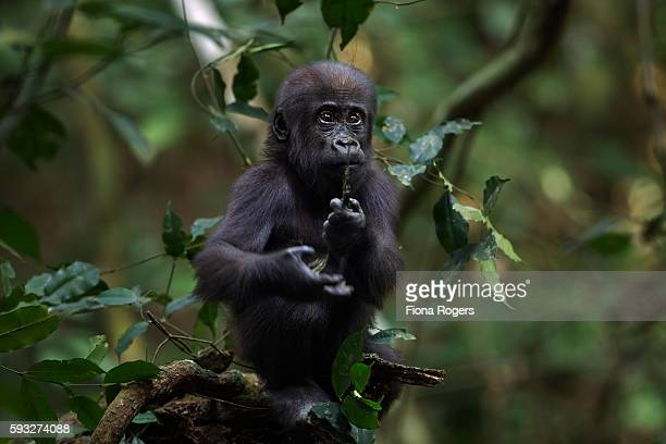 Western lowland gorilla infant 'Sopo' reaching out for a hanging plant stem