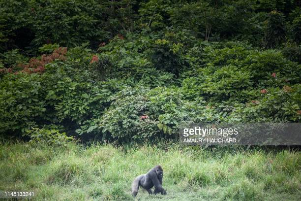 Western lowland gorilla is seen at Langoue Bai in the Ivindo national park, on April 26, 2019 near Makokou - Discovered in 2001, Langoue Bai, a...