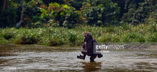 Western lowland gorilla juvenile crossing a river