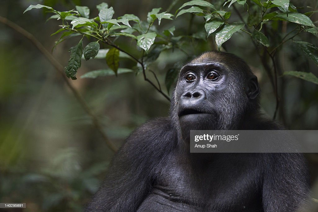 Western lowland gorilla juvenile female portrait : Stock Photo