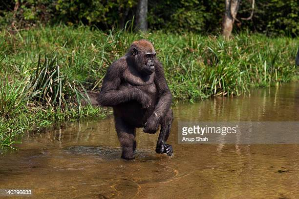 Western lowland gorilla juvenile female walking