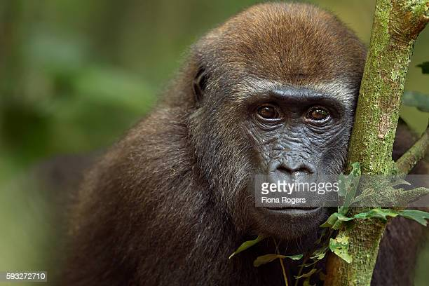 Western lowland gorilla juvenile male 'Mobangi' aged 5 years head and shoulders portrait