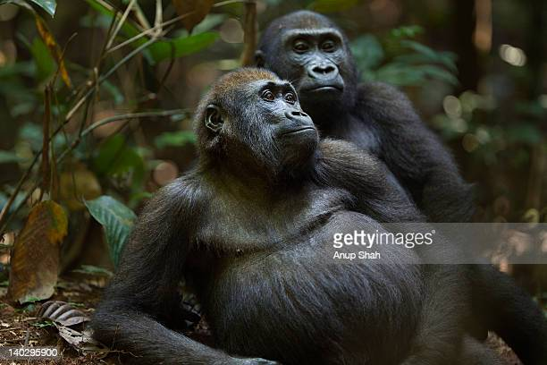 Western lowland gorilla juvenile males playing
