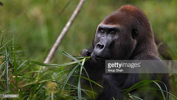 Western lowland gorilla male silverback feeding
