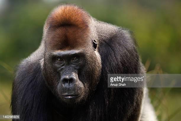 Western lowland gorilla male silverback portrait