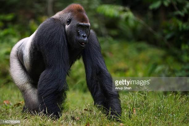 western lowland gorilla male silverback walking - gorila lomo plateado fotografías e imágenes de stock