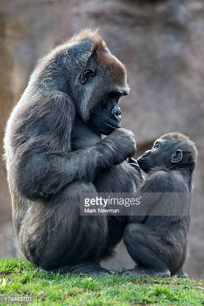 Western lowland gorilla, mother and baby