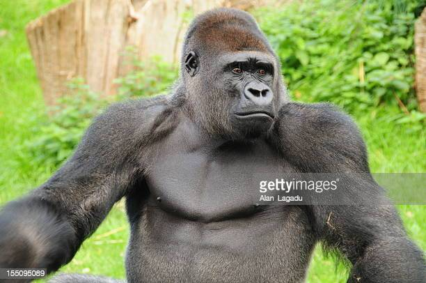 gorila occidental de llanura. - gorila lomo plateado fotografías e imágenes de stock