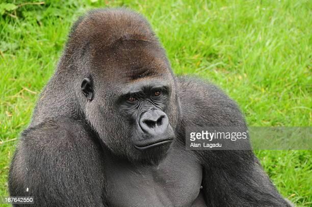 Gorila occidental de llanura.