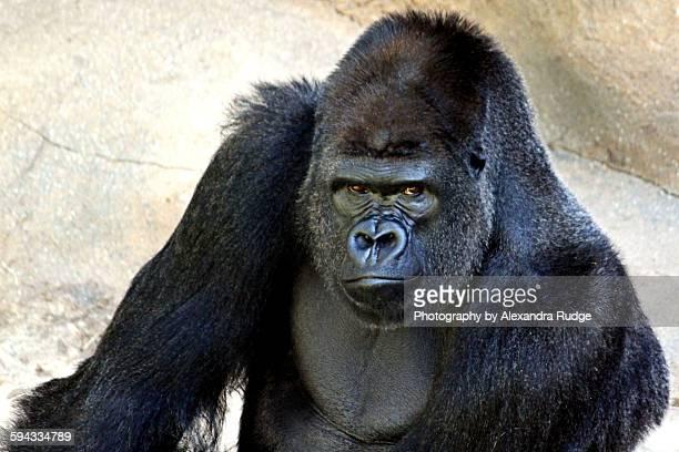 western lowland gorilla - gorila lomo plateado fotografías e imágenes de stock