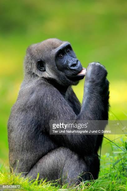 Western Lowland Gorilla, (Gorilla gorilla gorilla)