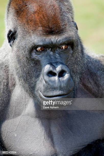 western lowland gorilla - dave ashwin stock pictures, royalty-free photos & images