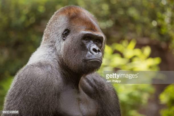 western lowland gorilla - ゴリラ ストックフォトと画像