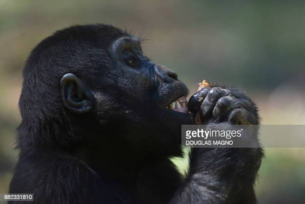 Western lowland gorilla Sawidi a gorilla cub who was also born in the zoo in Belo Horizonte in Brazil on May 12 2017 A baby gorilla still without...