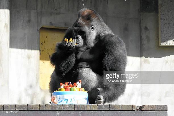 Western lowland gorilla Shabani eats a birthday cake to celebrate his 20th birthday at Higashiyama Zoo on October 20 2016 in Nagoya Aichi Japan