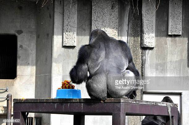 Western lowland gorilla Shabani eats his birthday cake during his 19th birthday at Higashiyama Zoo on October 20 2015 in Nagoya Aichi Japan