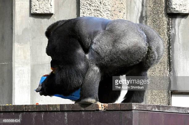 Western lowland gorilla Shabani holds his birthday cake during his 19th birthday at Higashiyama Zoo on October 20 2015 in Nagoya Aichi Japan