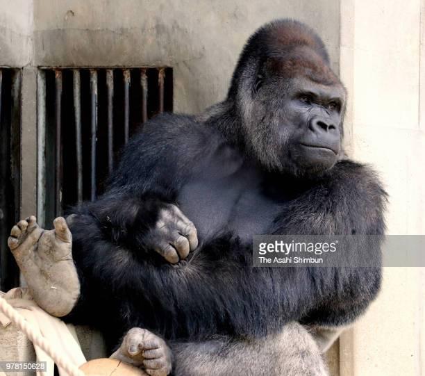 Western lowland gorilla Shabani is seen at Higashiyama Zoo on June 16 2018 in Nagoya Aichi Japan Shabani will move to new exhibition area and reopen...