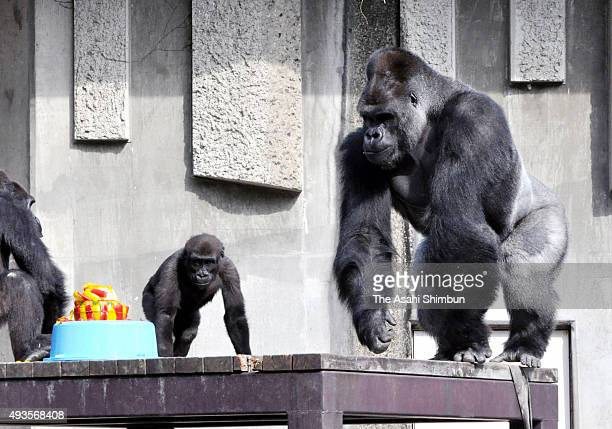 Western lowland gorilla Shabani is seen during his 19th birthday at Higashiyama Zoo on October 20 2015 in Nagoya Aichi Japan