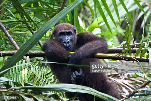 western lowland gorilla sitting in a palmtree - gabon stock pictures, royalty-free photos & images